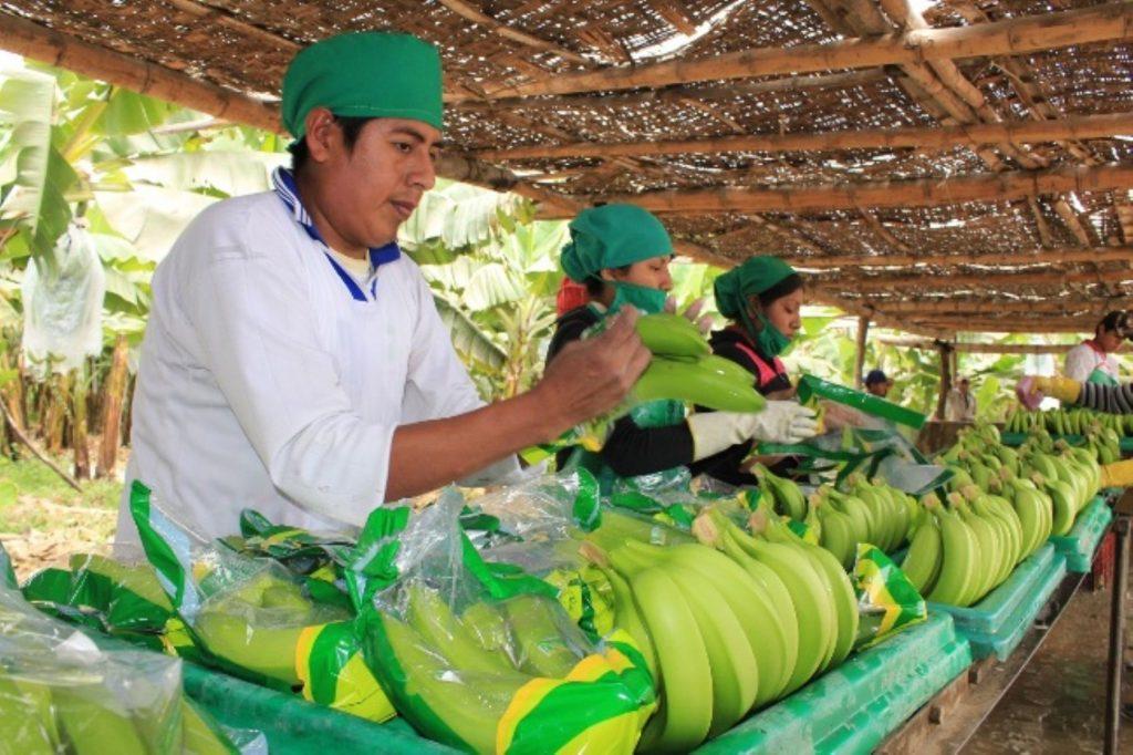 productores. banano